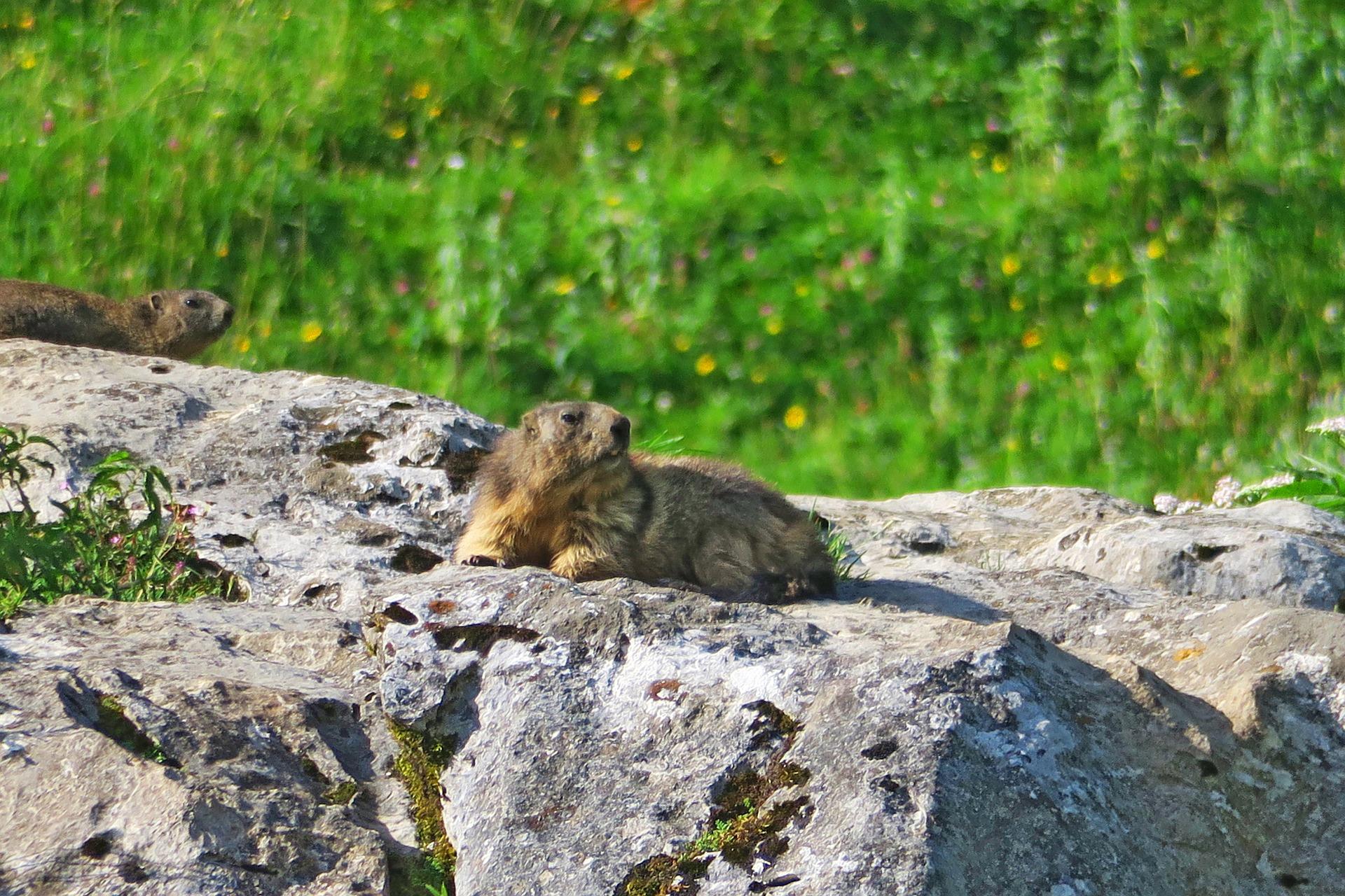 Une marmotte au soleil